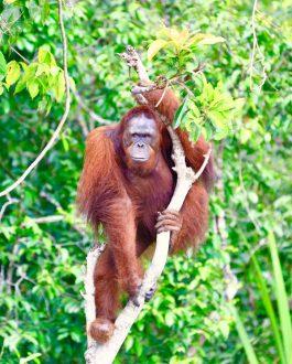 Orangutan Rungan River