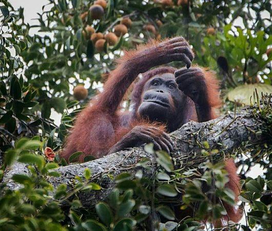 SNP Wild Orangutan